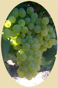 Chardonnay grapes on the vine 2009
