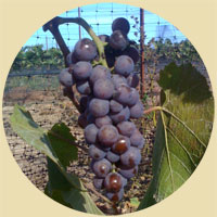 2009 Pinot Grigio grapes - Russian River Valley - Sonoma County