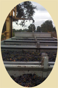 Pinot Noir grapes in the gondola 2009